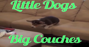 little dogs couch