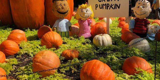 Charlie browns great pumpkin patch