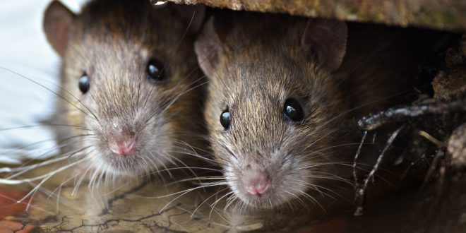 Brown Rats looking of the cover.