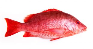red snapper